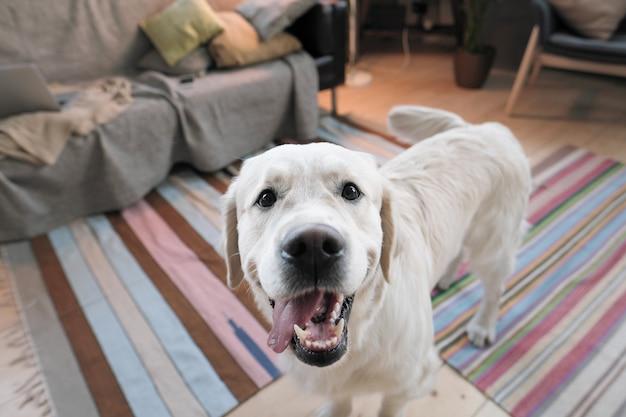 Close-up of cute pedigree retriever regardant la caméra debout dans la salle