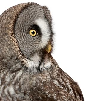Close up of great grey owl ou laponie owl strix nebulosa un très grand hibou isolé