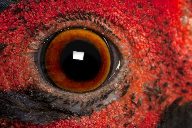 Close up of male american common pheasant phasianus colchicus eye