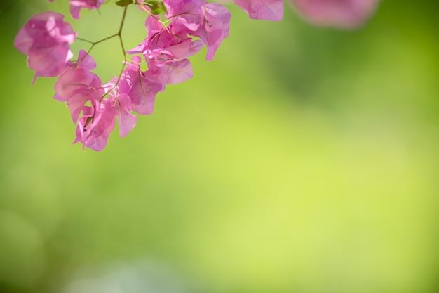 Close up of nature view bougainvillea rose sur fond de verdure floue sous la lumière du soleil avec bokeh et copie espace en utilisant comme arrière-plan paysage de plantes naturelles