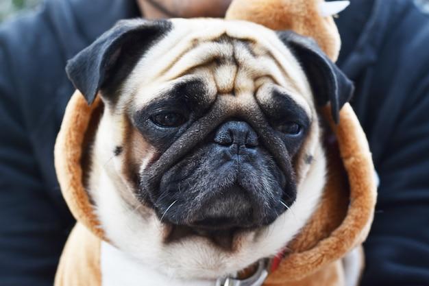 Close-up of pug dog, 3 ans