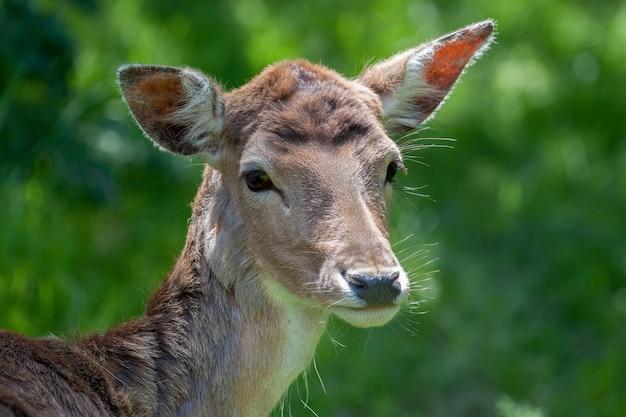 Close-up of a red deer (cervus elaphus) hind
