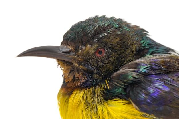 Close-up of sunbird à gorge brune