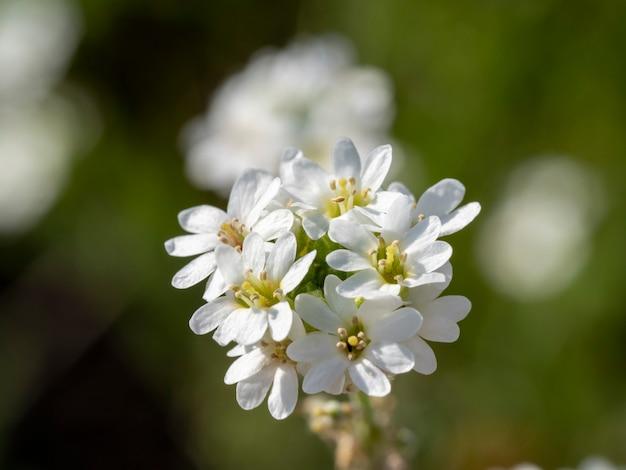 Close-up of a white hoary alyssum fleur par temps clair. arrière-plan flou, mise au point sélective