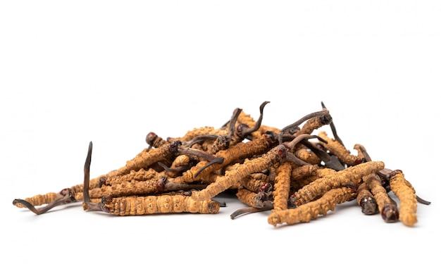Close up ophiocordyceps sinensis ou champignon cordycep c'est une herbe.