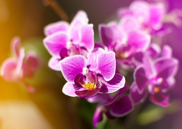 Close-up orchidée rose vif et violet. fond naturel avec des rayons lumineux du soleil.