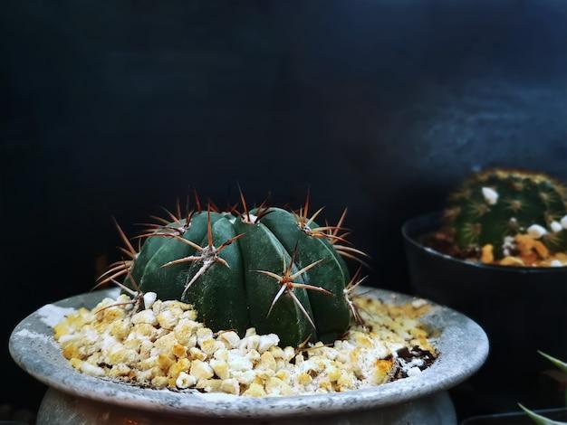 Close-up petit cactus épineux décoratif en pot avec des pierres de gravier