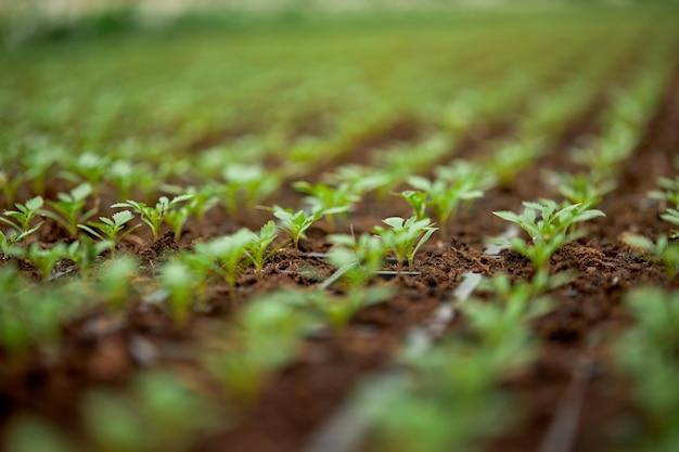 Close up de petites plantes poussant en rangées à effet de serre