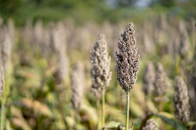 Close-up, la plantation de mil dans la ferme derrière est une belle vue sur la montagne