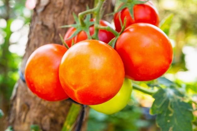 Close up plante de tomates mûres dans un jardin biologique