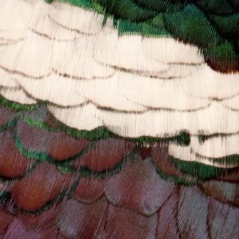 Close up de plumes de faisan phasianus colchicus commun européen mâle