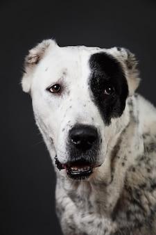 Close-up portrait chien de berger d'asie centrale regardant la caméra sur fond gris