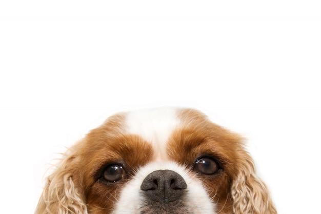 Close-up portrait hide chien cavalier avec de grandes oreilles