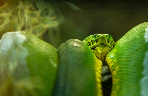 Close up portrait of beautiful green tree python