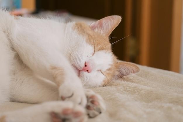 Close up portrait of cute cat endormi rouge et blanc