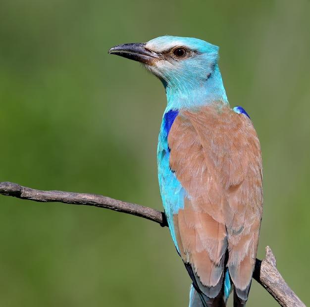 Close up portrait of european roller bird est assis sur une branche