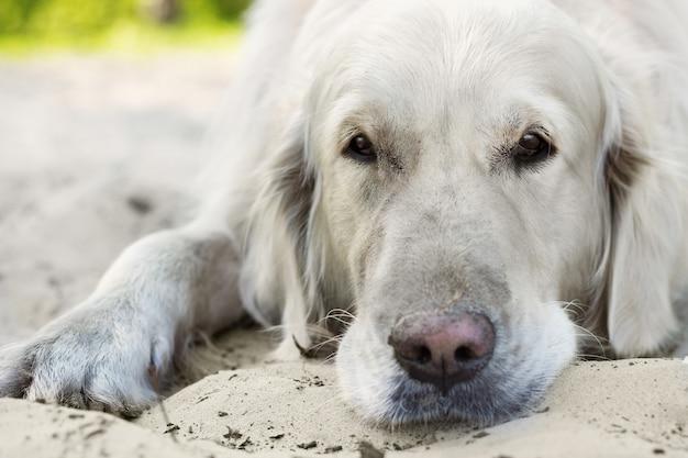 Close up portrait of golden retriever dog avec des yeux tristes dans le parc en été