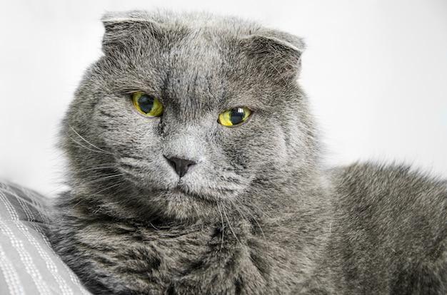 Close-up portrait of grand chat british shorthair gris avec de grands yeux vert-jaune. regardant dans la caméra.
