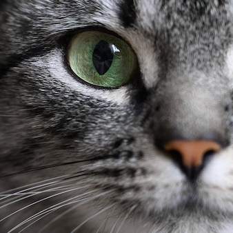 Close-up portrait of green eye of american shorthair cat de couleur grise.