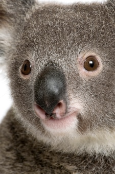 Close-up portrait of male koala bear, phascolarctos cinereus,
