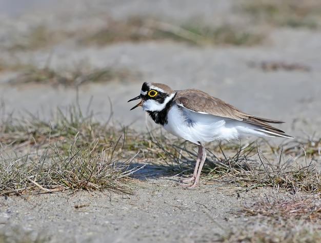 Close up portrait of a male petit pluvier annelé en plumage nuptial se dresse sur une herbe