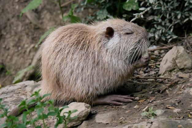 Close up portrait of nutria rat manger de l'eau