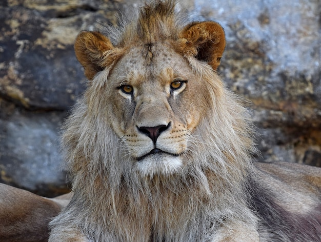 Close up portrait of young male lion d'afrique