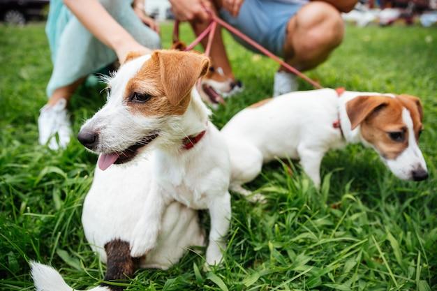 Close up portrait de trois chiens jack russels en laisse à l'extérieur