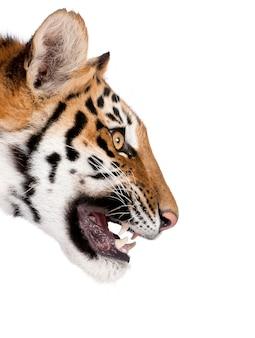 Close-up profile of bengal tiger snarling, panthera tigris tigris isolated