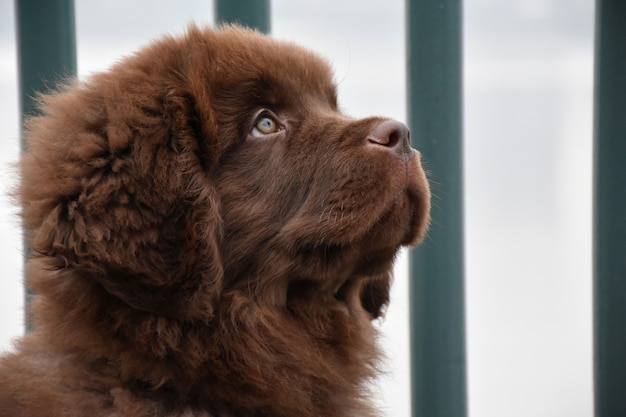 Close up profile of a sweet brown newfie puppy dog