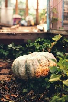 Close up pumpk mûr en serre