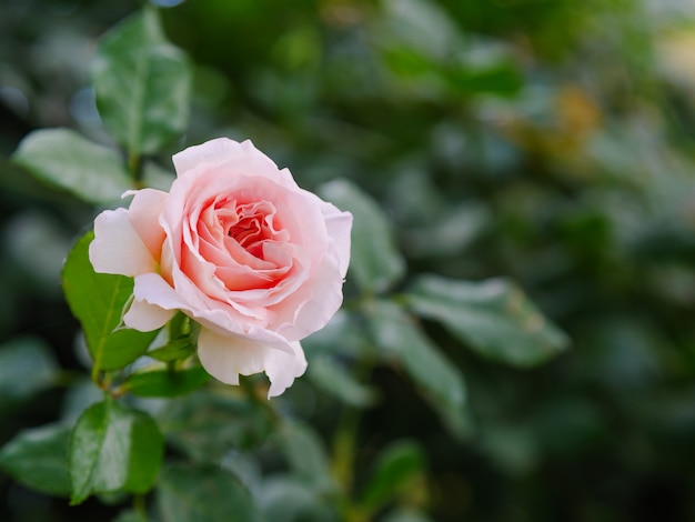 Close-up shot blooming rose fraîche et naturelle fleur contre un pré vert sélectionnez focus faible profondeur de champ