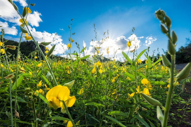 Close-up sunn chanvre, chanvre indien, crotalaria juncea fleur jaune dans le champ avec éclat du soleil
