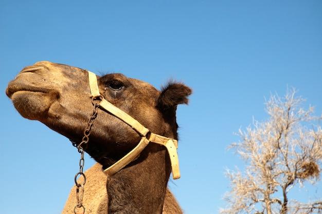 Close up tête de chameau en face du ciel bleu
