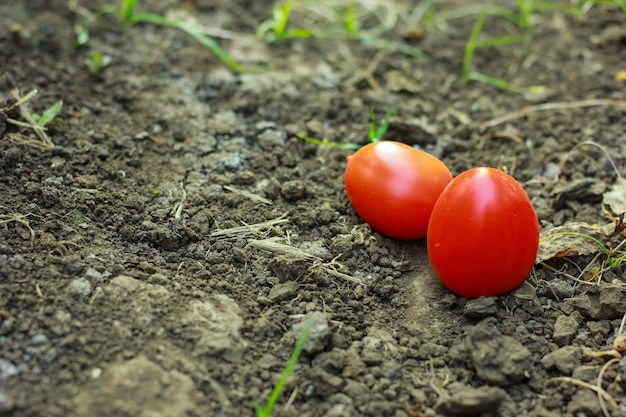 Close-up de tomates fraîches et mûres sur fond de sol