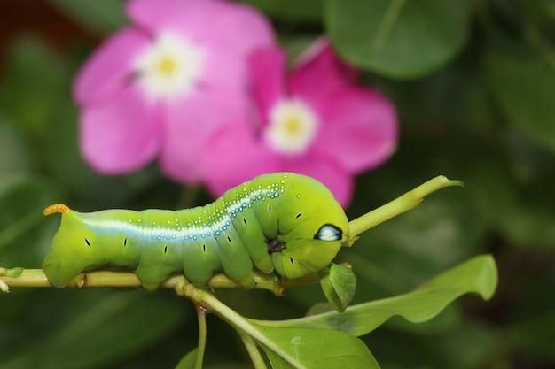Close up ver vert ou ver daphnis neri sur l'arbre de bâton dans la nature et l'environnement