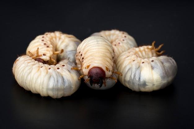 Close up de vers de terre, coléoptère rhinocéros de la noix de coco