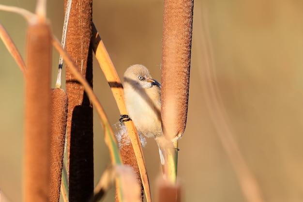 Close up young mésange barbu est assis sur une branche d'un roseau