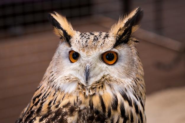 Closeup, animal, figure, figure, oiseau, aigle, chouette