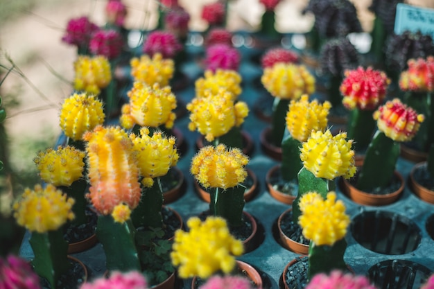 Closeup, arbre cactus
