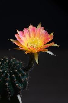 Closeup belle fleur de cactus lobivia en fleurs sur fond noir