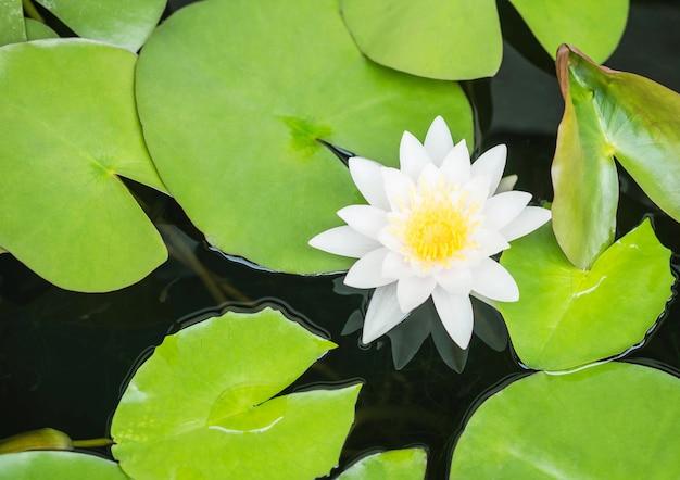 Closeup belle fleur de lotus blanc en fond d'étang
