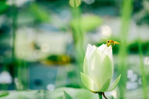 Closeup belle fleur de lotus rose en étang.