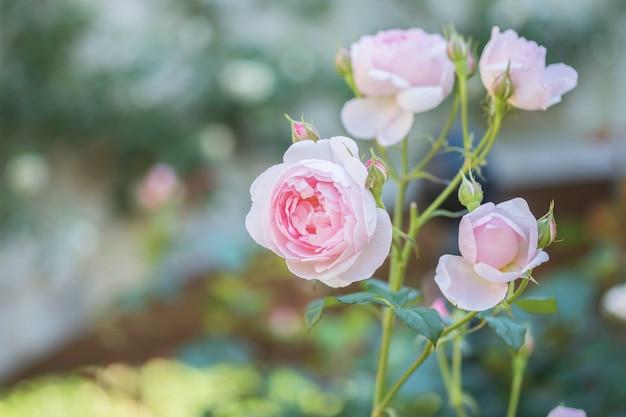 Closeup belle rose rose sur fond de vue jardin floue avec espace de copie