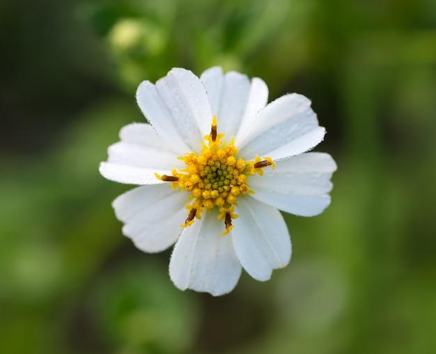 Closeup bouquet de fleurs de chrysanthème blanc