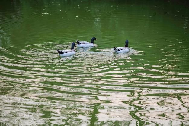 Closeup canard flottant sur l'eau dans un parc public dans la soirée