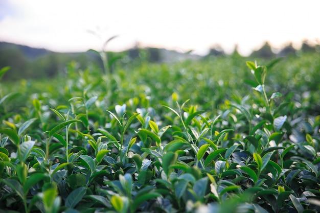 Closeup champ de thé vert frais et vue de pittoresque jeune feuilles de thé vert brillant frais supérieur
