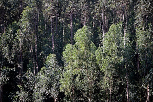 Closeup, eucalyptus, plantation