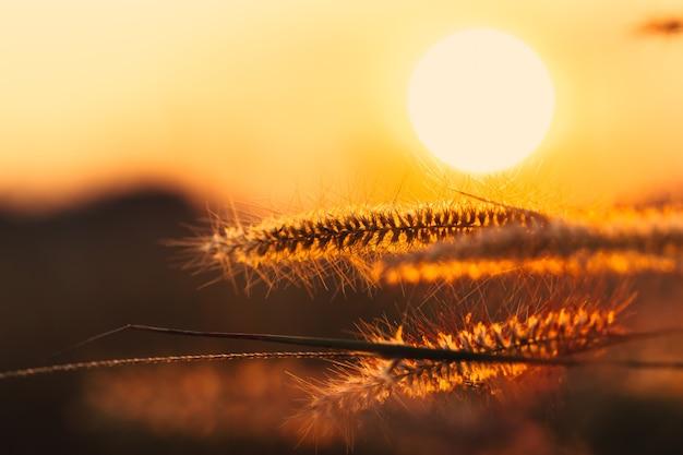 Closeup feather herbe fleur coucher de soleil fond paysage rural paysage aube orange ciel.