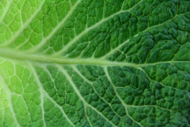 Closeup feuille de chou vert